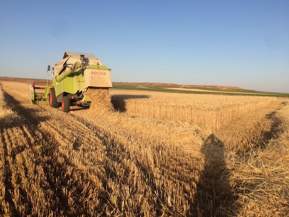 Campo de cereal (foto compartida por Asaja)