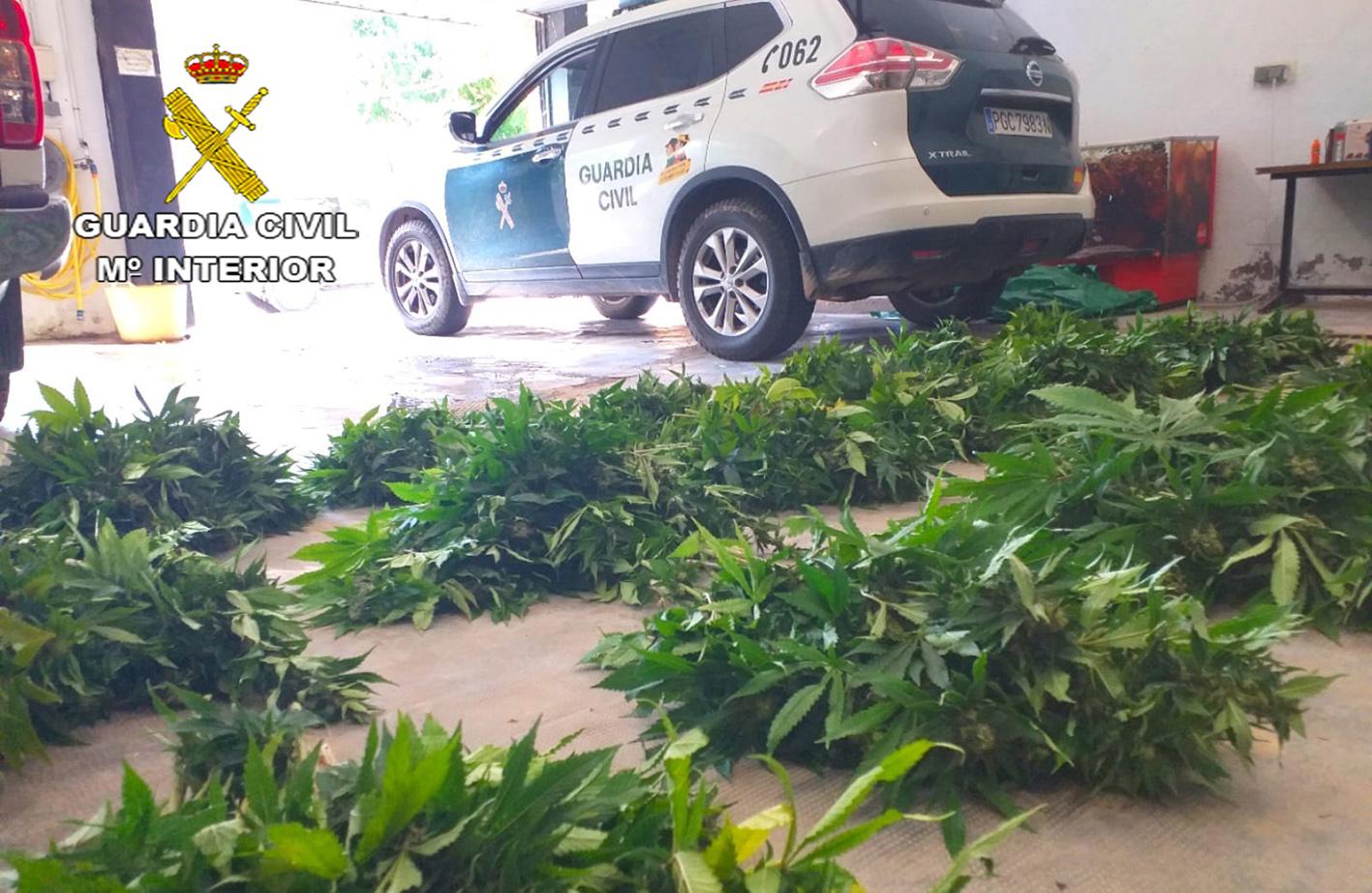 La Guardia Civil detuvo al hombre de 36 años cuando este se disponía a deshacerse de la plantación de marihuana.