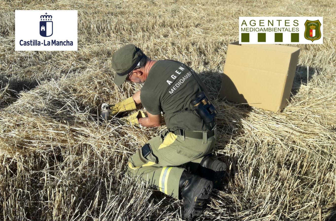 Agente medioambiental rescata varios aguiluchos en CLM.