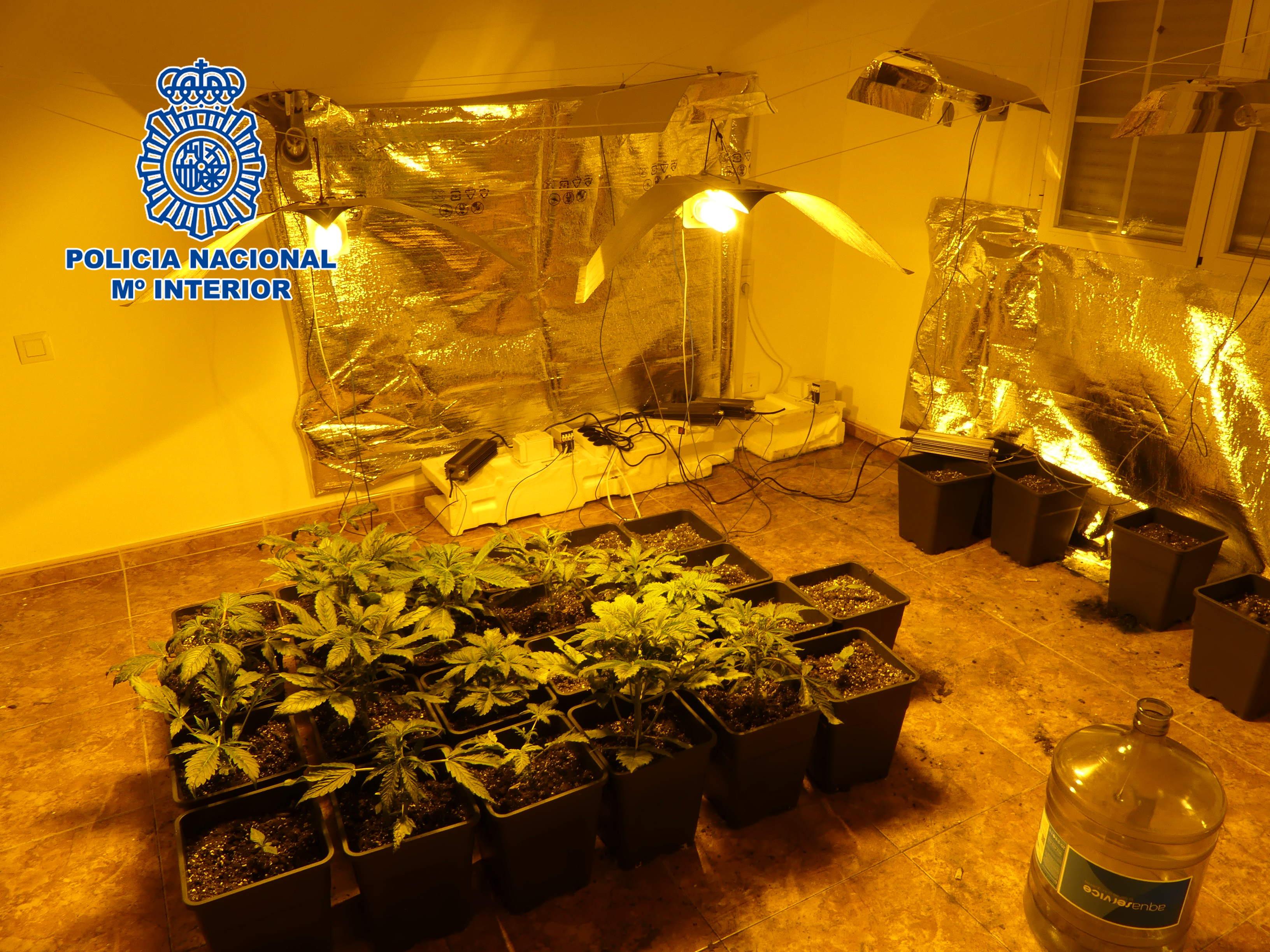 Imagen de las plantas incautadas en Cobisa.