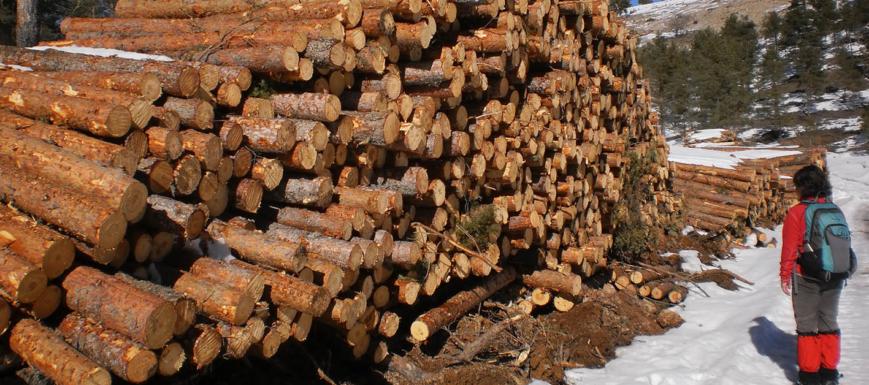 Tala de árboles en la Serranía de Cuenca.
