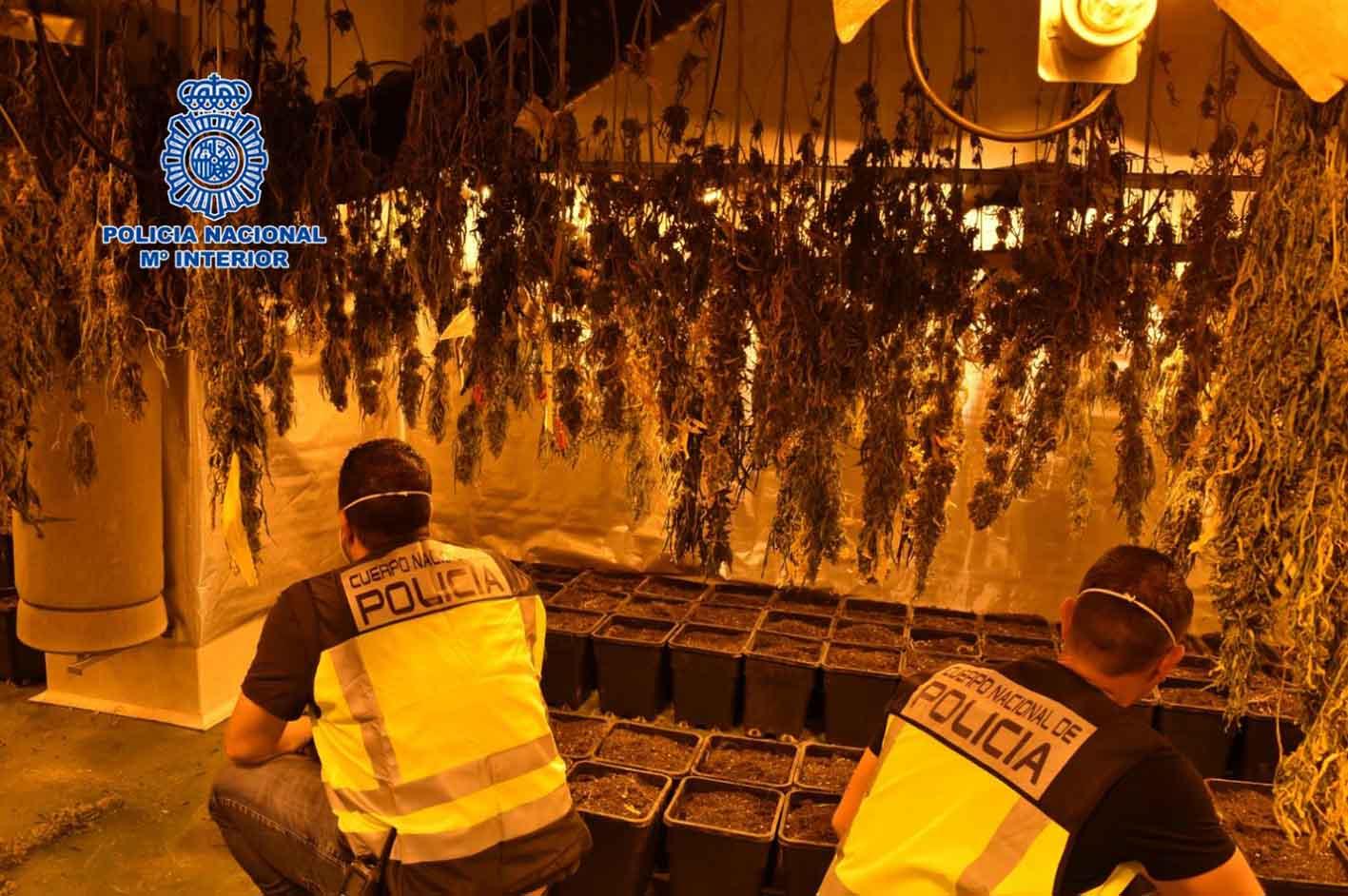 Plantación marihuana Argamasilla de Alba