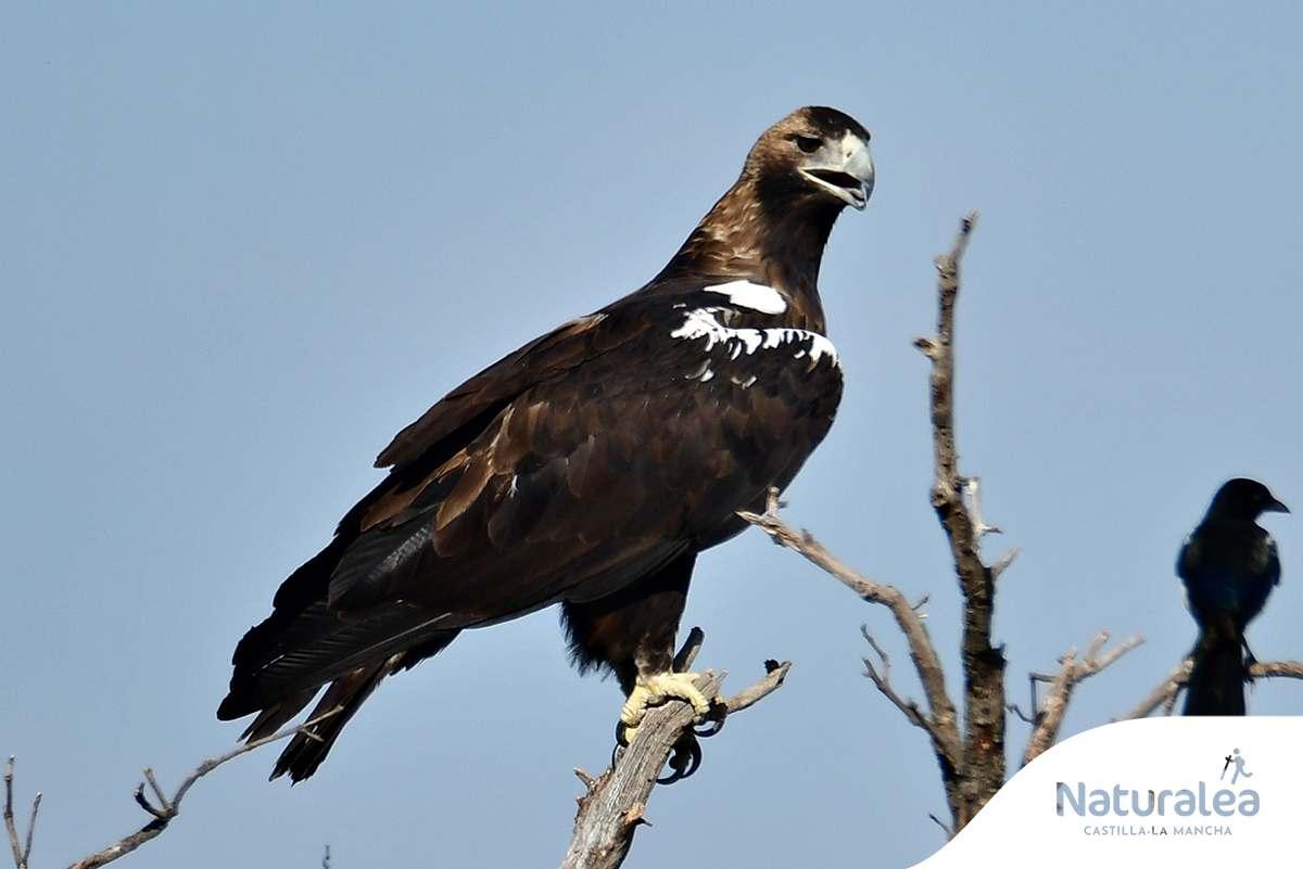 Águila imperial. Foto: © Turismo de Castilla-La Mancha / David Blázquez.
